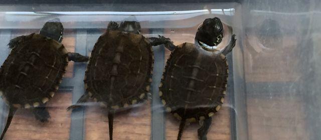 クサガメ 孵化