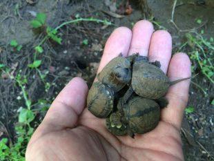 クサガメ孵化
