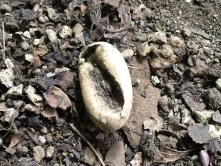 クサガメ産卵